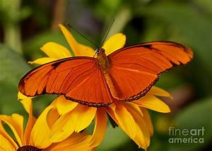 Julia Tropical Butterfly On Lazy Susan Flower Photograph