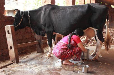 karnataka  cows   culled  prevent spread