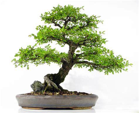 Ikea Bonsai Baum by Orme Du Japon Ulmus Japonica Bonsai Pictures For