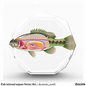 Fish Internal Organs Vector Art Diagram Anatomy Acrylic