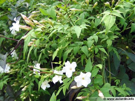 cuisiner haricot blanc officinal jasminum officinalis