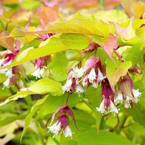 1 x leycesteria golden lanterns pheasant berry semi evergreen shrub plant in pot ebay