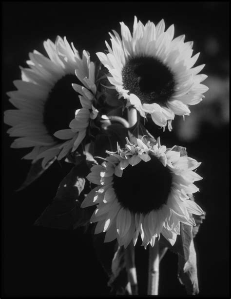 black  white sunflowers nature sunflower pictures