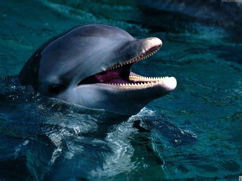 dolphin wallpaper nature sea dolphins underwater 1600x1200 wallpaper Underwater