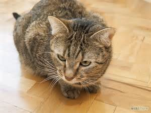 tabby cat personality how to identify a tabby cat meow aum