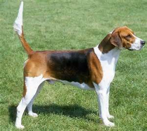 English Foxhound Dog Breed