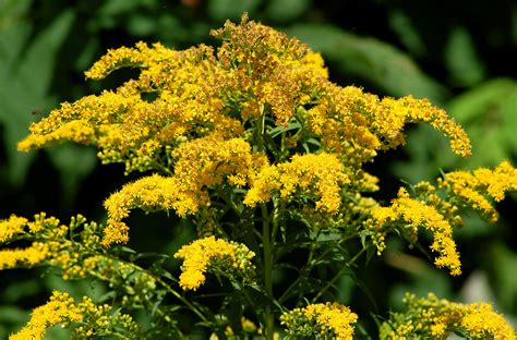 golden rod goldenrod weeds invasive but not cause of allergies