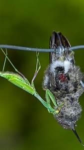 Fun Fact: Praying Mantises Eat Bird Brains - D-brief