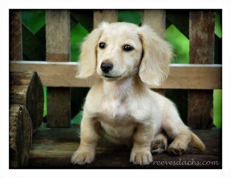 Datsun Puppies by Vanilla Chai Reevesdachs Miniature Dachshunds