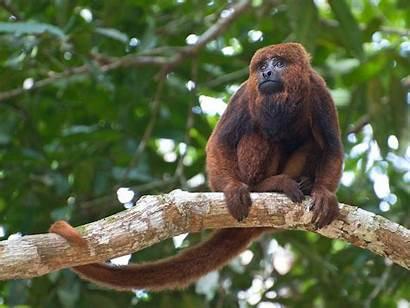 Monkeys Brown Brazil Yellow Fever Dead Killing