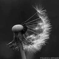 Black and White Dandelion Photography