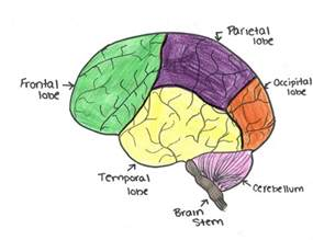 Brain Parts and Its Functions