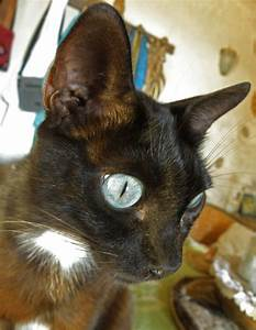 Tuxedo Cat With Steely Blue Eyes