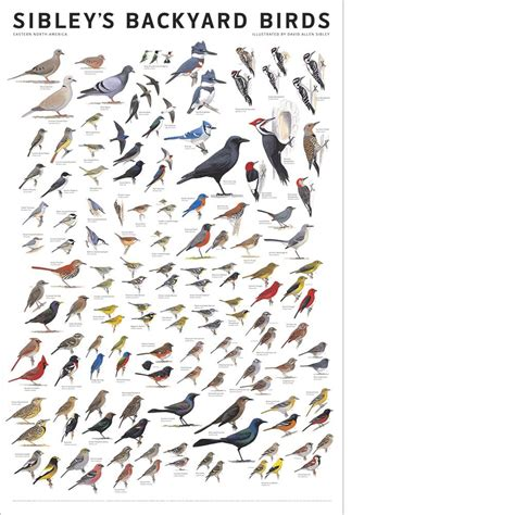 sibley s backyard birds of eastern north america poster
