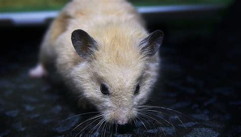 pet rats   eat animals momme
