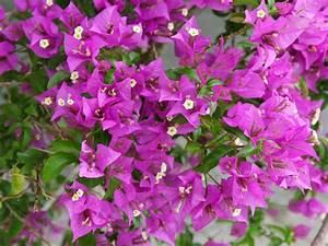 Bougainvillea Blüht Nicht : bougainvillea pflanzen sorten pflegen ~ Lizthompson.info Haus und Dekorationen