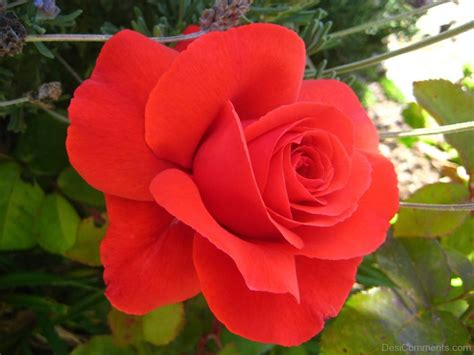 Rose Pictures, Images, Graphics For Facebook, Whatsapp
