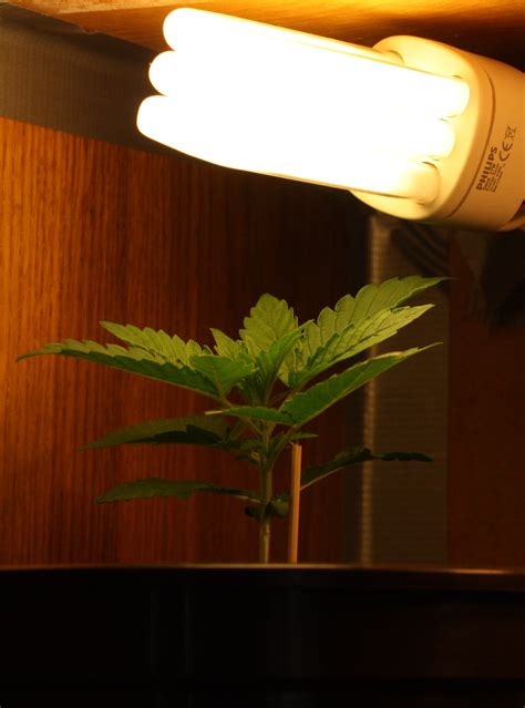 growing weed with fluorescent lights what cfls for growing weed