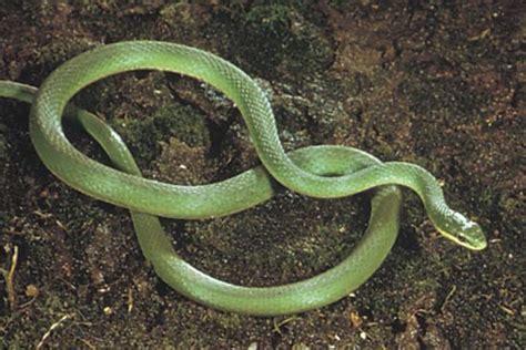 green snake reptile britannicacom