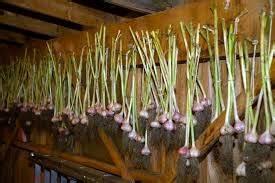 Planter Ail Rose : knoflook goed gewas voor iedereen ~ Nature-et-papiers.com Idées de Décoration