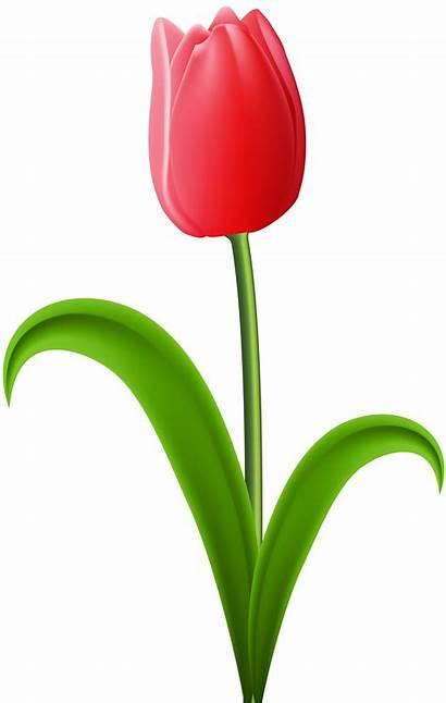 Tulip Transparent Clip Bunga Gambar Clipart Flowers