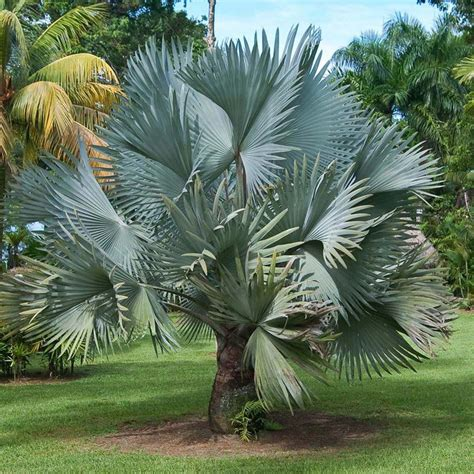 Muda de Palmeira Azul - Safari Garden