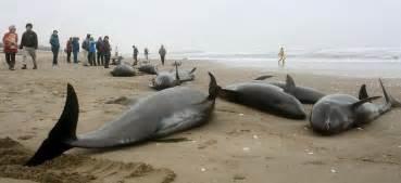 l 233 chouage de pr 232 s de 160 dauphins fait craindre un