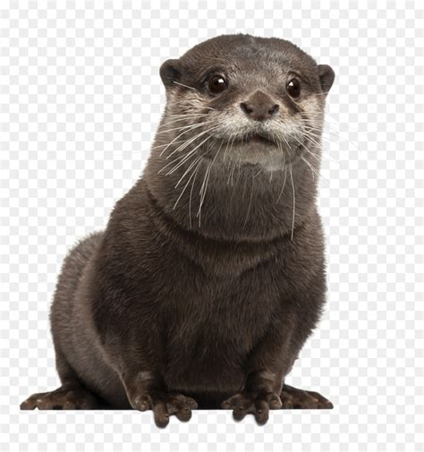 asian small clawed otter eurasian otter sea otter stock