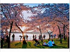 DC Cherry Blossom Festival 2016 Tips for Seeing the