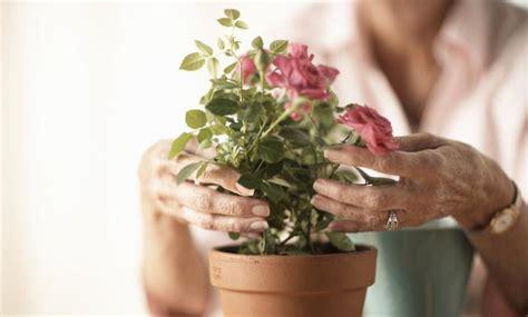 Cómo Plantar Rosales En Macetas Vix