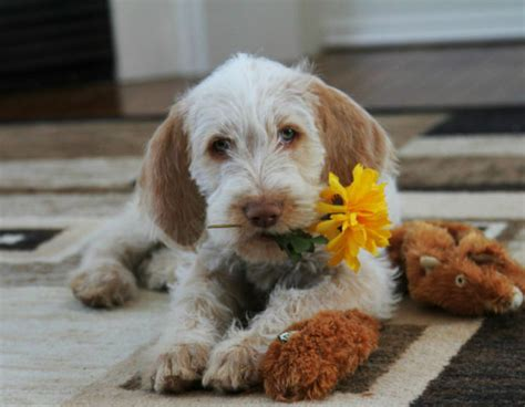 wire haired italian spinone puppies registered dogs