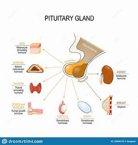 Pituitary Hormone Stock Vector  Illustration Of Body