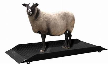 Scale Pec Livestock Sheep Vet Scales Animal