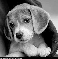 Baby Beagle Puppies