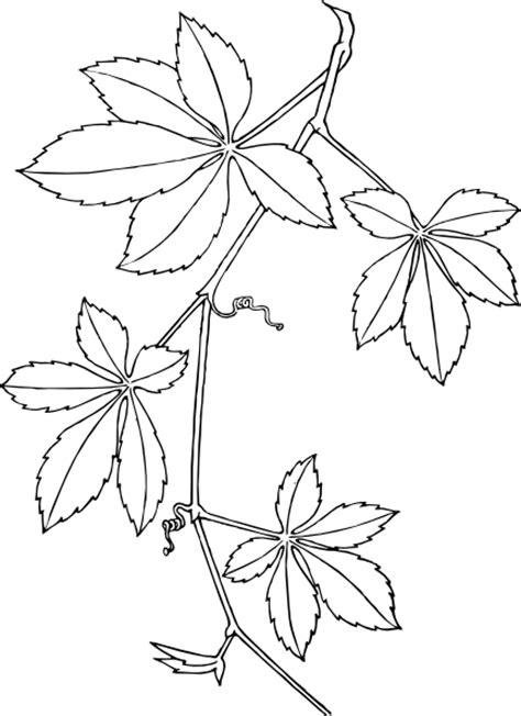 virginia creeper clip art  clkercom vector clip art