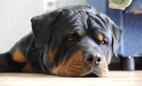 rottweiler owners   forget