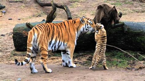 Baby Zoo Animals Tiger