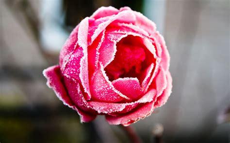 frozen rose wallpapers hd wallpapers id