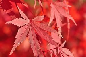 Ahorn Rote Blätter : gr ner tigerlotus pflanzen f r nassen boden ~ Eleganceandgraceweddings.com Haus und Dekorationen