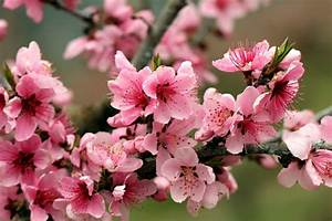 Apple Tree Bright Spring Pink Flowers Petals Blossoms
