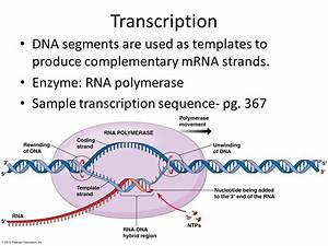 rna and protein synthesis ppt download With when an rna strand forms using dna as a template