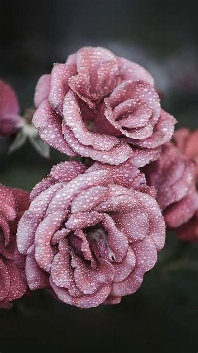 Iphone Rose Wallpapers Flower Unique Floral Pastel