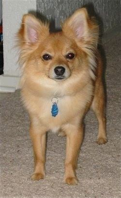 yorkillon dog breed information