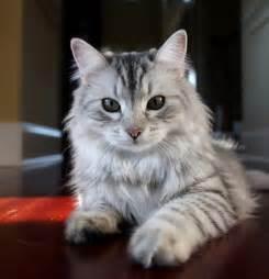 siberian cats siberian cat no 1 by mischi3vo on deviantart