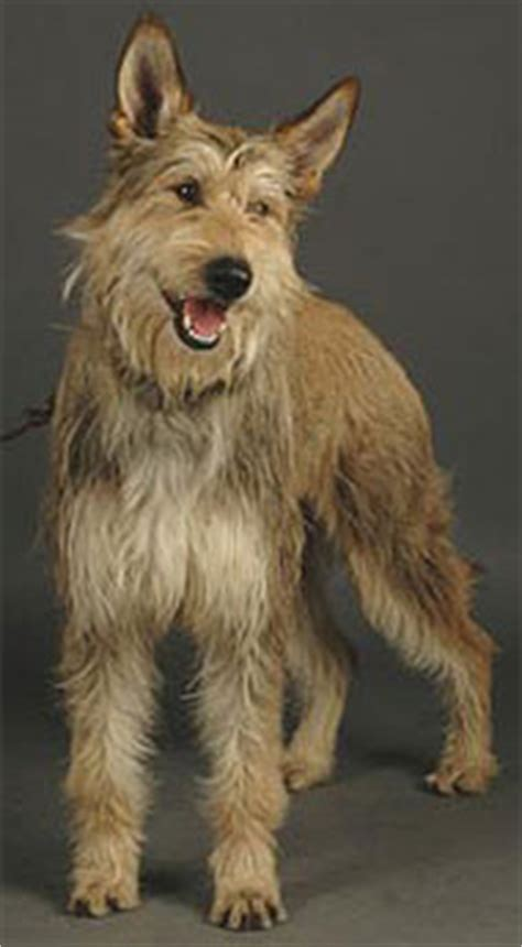 picardy shepherd dog herding dog breeds