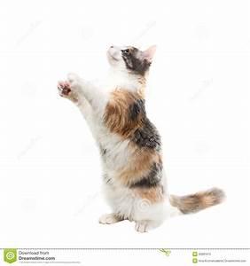 三色猫坐它的后腿 库存图片. 图片 包括有 没人, 查找, 空白, 工作室, 颊须, 头发, beautifuler ...