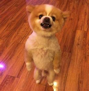 Doggy gets upset over his new haircut, walks around on ...