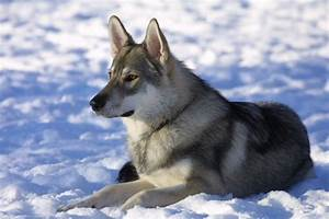 Dog Breeds That Look Like Wolves | Pets World