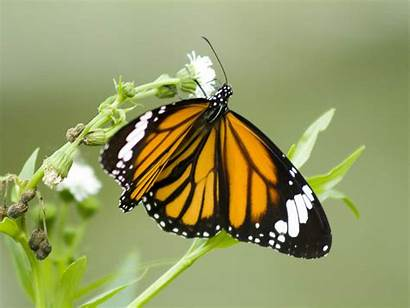 Butterfly Desktop Wallpapers Nature Butterflies Colorful Insects