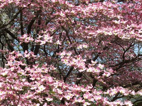 pink dogwood tree care how to care for your dogwood tree tomlinson bomberger